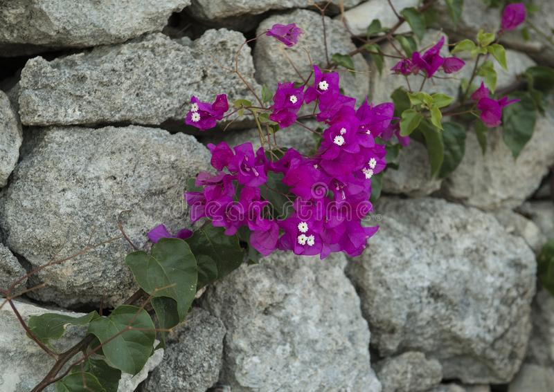 Purple Bougainvillea on grey stone wall royalty free stock photo