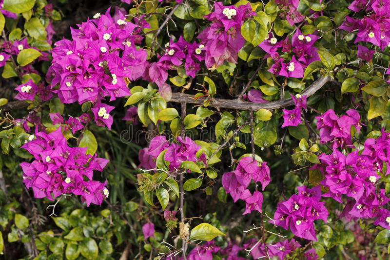 Purple Bougainvillea Shrub. Up close branch of a beautiful, tropical purple yellow fuchsia Bougainvillea plant bush seen in tropical Fort Lauderdale, Florida on stock image