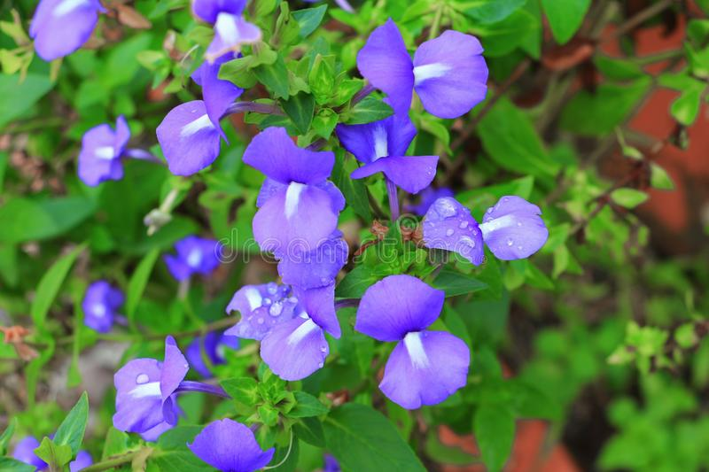 Purple Brazilian snapdragon beautiful flower and drop of water. Select focus with shallow depth of field, Otacanthus caeruleus Lindl, Blue Hawaii bush royalty free stock photos