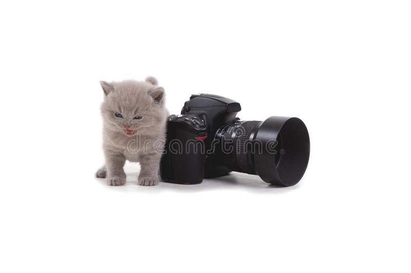 Purple British kitten stands on a white background in front of the photo camera. Age 1 month. Isolated stock photos