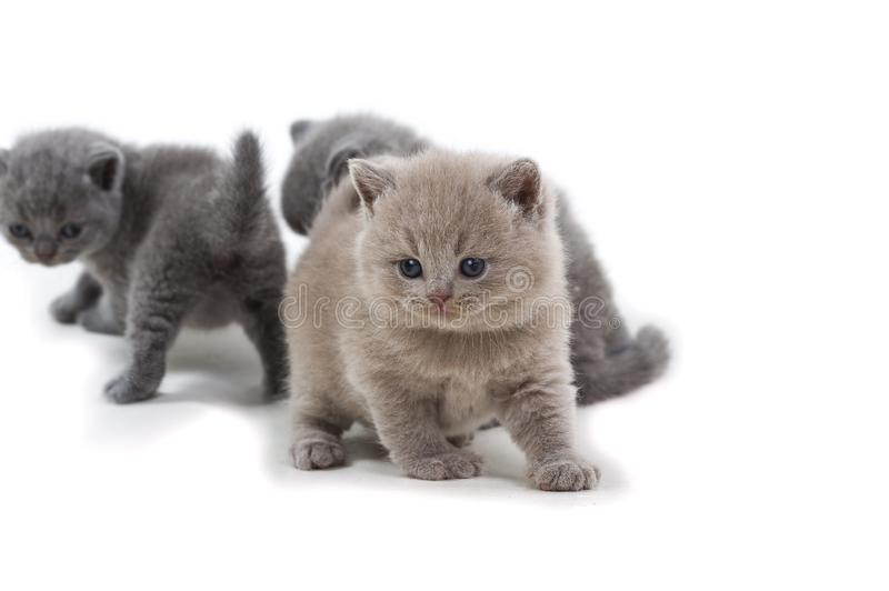 Purple British kitten and two brothers standing on a white background, looking away royalty free stock photo