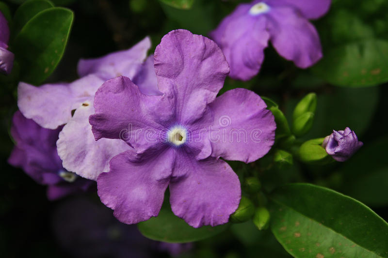 PURPLE BRUNFELSIA royalty free stock images