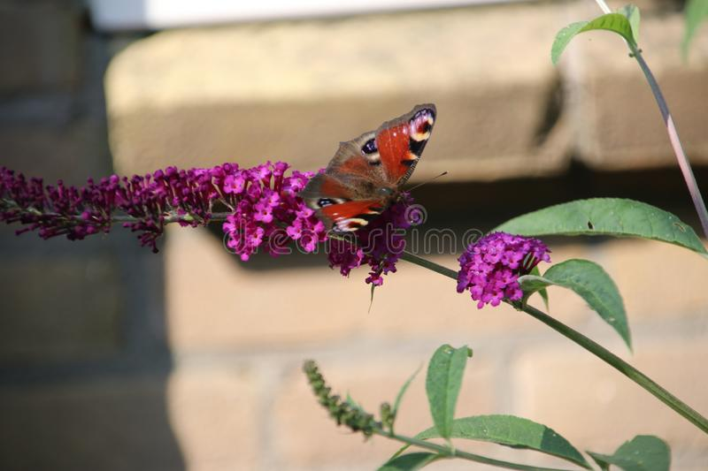 Purple buddleia with a red black butterfly on it in the sun. royalty free stock photo