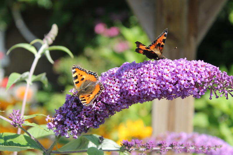 Purple Butterfly Bush with butterflies. Atalanta on a Purple Butterfly Bush that soak up the nektar enjoy. The Red Admiral (Vanessa atalanta) of Admiral royalty free stock image