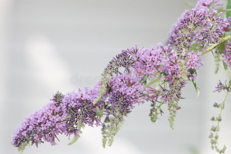 Purple butterfly bush flowered in the summer. A long branch of a flowered butterfly bush blooms in a light purple color stock photo