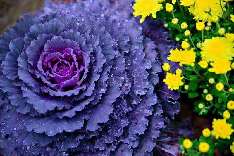 Purple Cabbage. Or Kale growing alongside yellow Chrysanthemums royalty free stock photo