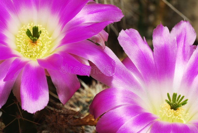 Download Purple Cacti Flowers In Bloom Stock Photo - Image: 5431618