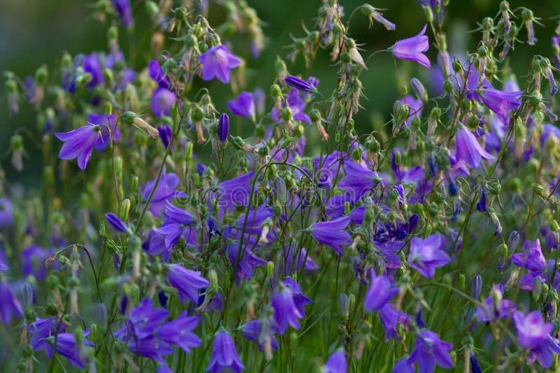 Download Purple campanula stock photo. Image of green, beautiful - 25869394