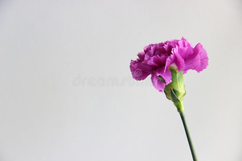 Purple carnation flower. On grey background, selective focus royalty free stock photo