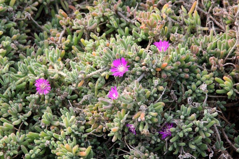 Purple carpet, Purple iceplant, Drosanthemum floribundum. Low growing perennial with light green small succulent leaves and purple 2-3 cm across flowers stock photo