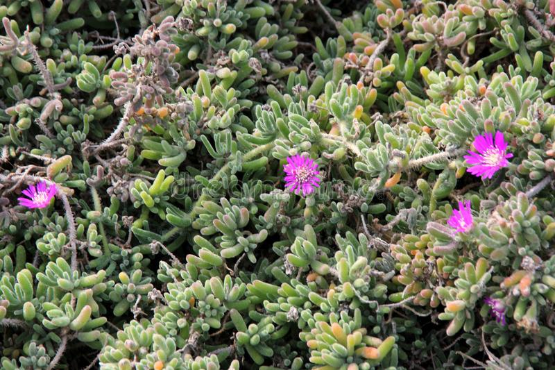 Purple carpet, Purple iceplant, Drosanthemum floribundum. Low growing perennial with light green small succulent leaves and purple 2-3 cm across flowers royalty free stock image