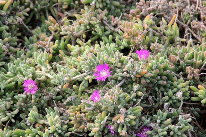 Purple carpet, Purple iceplant, Drosanthemum floribundum. Low growing perennial with light green small succulent leaves and purple 2-3 cm across flowers stock photos