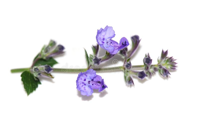 Purple catnip flowers on white. Catnip flowers Nepeta cataria isolated on white background royalty free stock photos