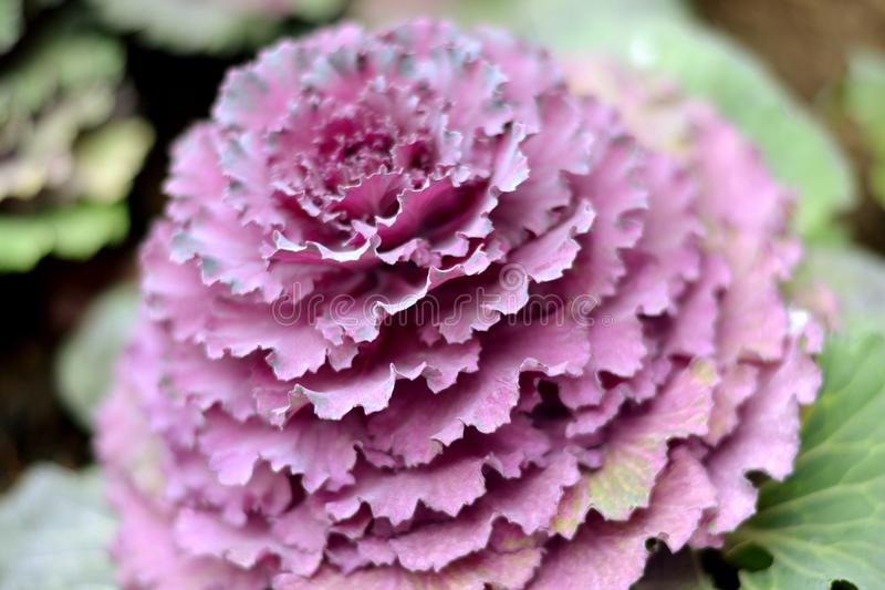Purple cauliflower. On cold mountain royalty free stock image