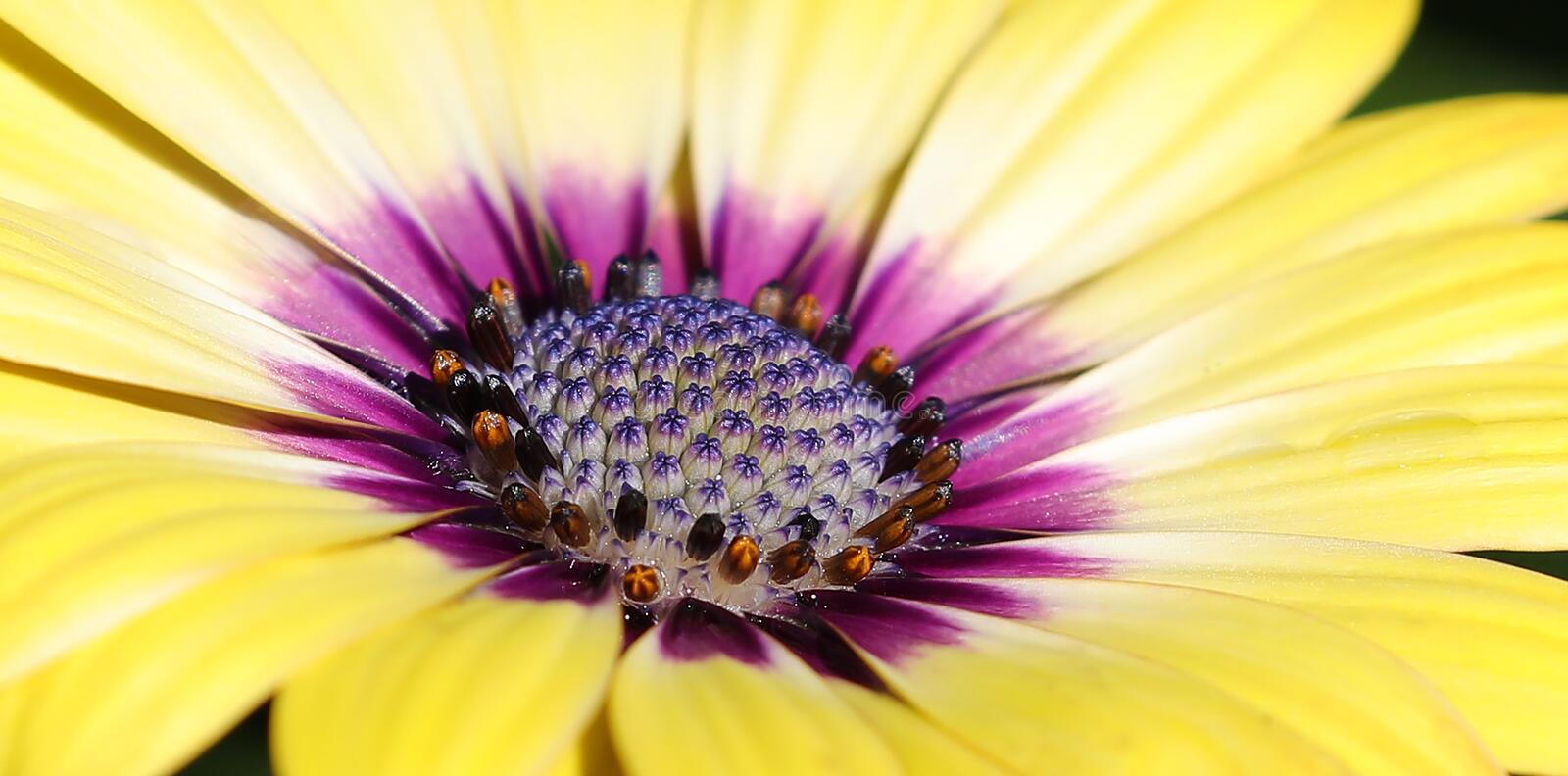Purple center Osteospermum flowers yellow daisy flower daisies royalty free stock images