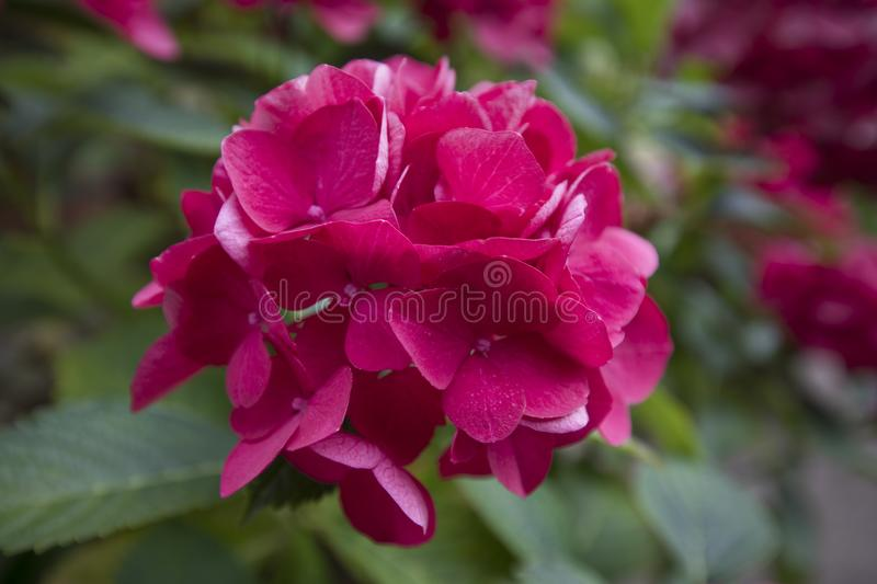 Purple cerise coloured Hydrangea in flower royalty free stock photo