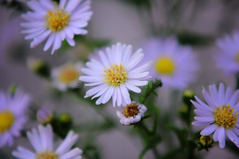 Purple chamomile flowers stock image