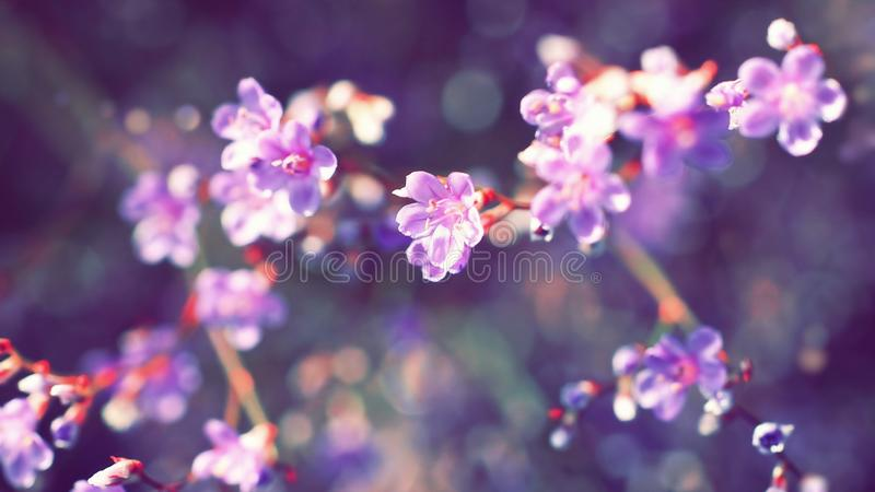 Purple lilac pink cherry blossom on the branch. Purple cherry tree branch with lilac background. Spring flowers trees. Soft abstract gentle background stock photos