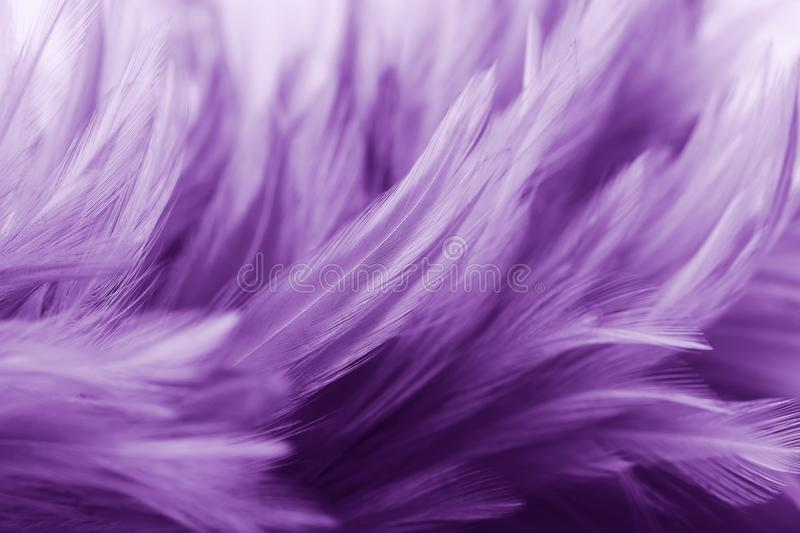 Purple chicken feathers in soft and blur style royalty free stock photo