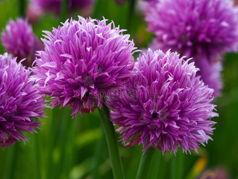 Purple chive flowers Allium schoenoprasum. Closeup of pretty purple chive flowers Allium schoenoprasum in a garden royalty free stock photo