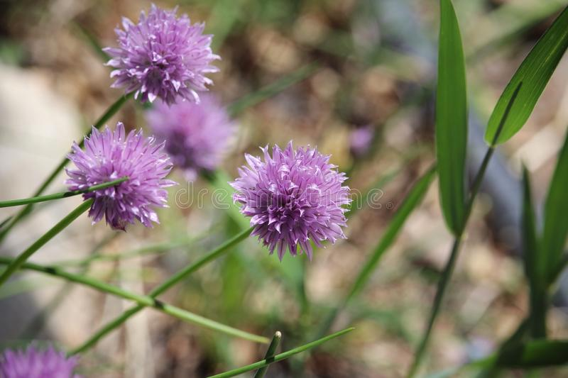 Purple chive flowers in purple. Spiky Spring Chive Flowers stock image