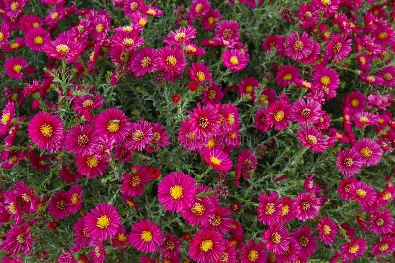 Purple Chrysanthemum royalty free stock photo