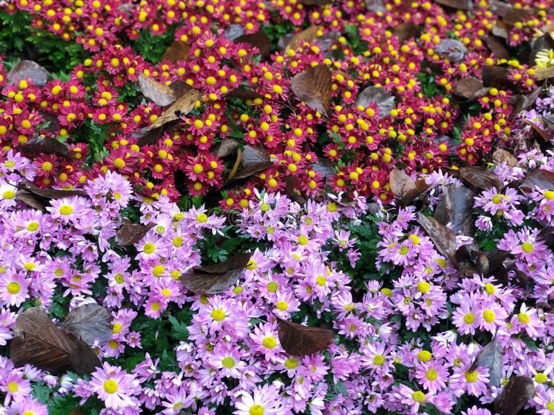 Purple Chrysanthemum bloemen sluiten met groene bladeren, in het najaar Voelt fris mooi natuurlijk in botanisch park royalty-vrije stock foto's