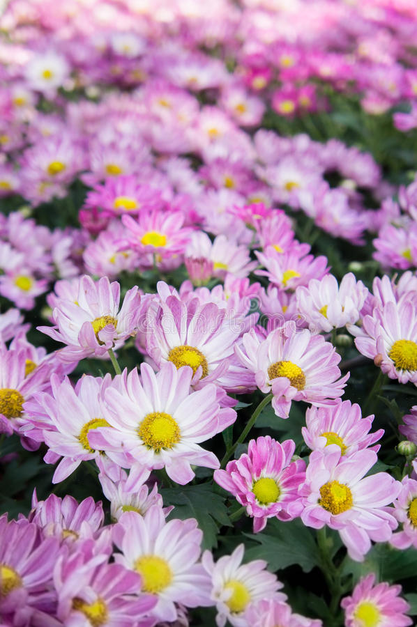 Purple Chrysanthemum royalty free stock photography
