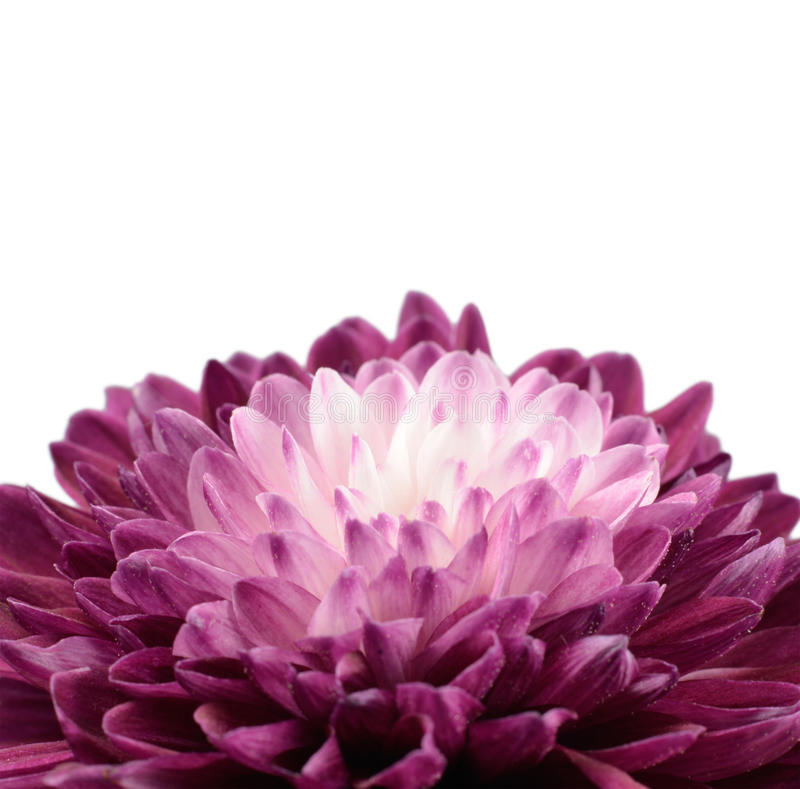 Download Purple Chrysanthemum Flower With White Center Stock Photo - Image: 23757572
