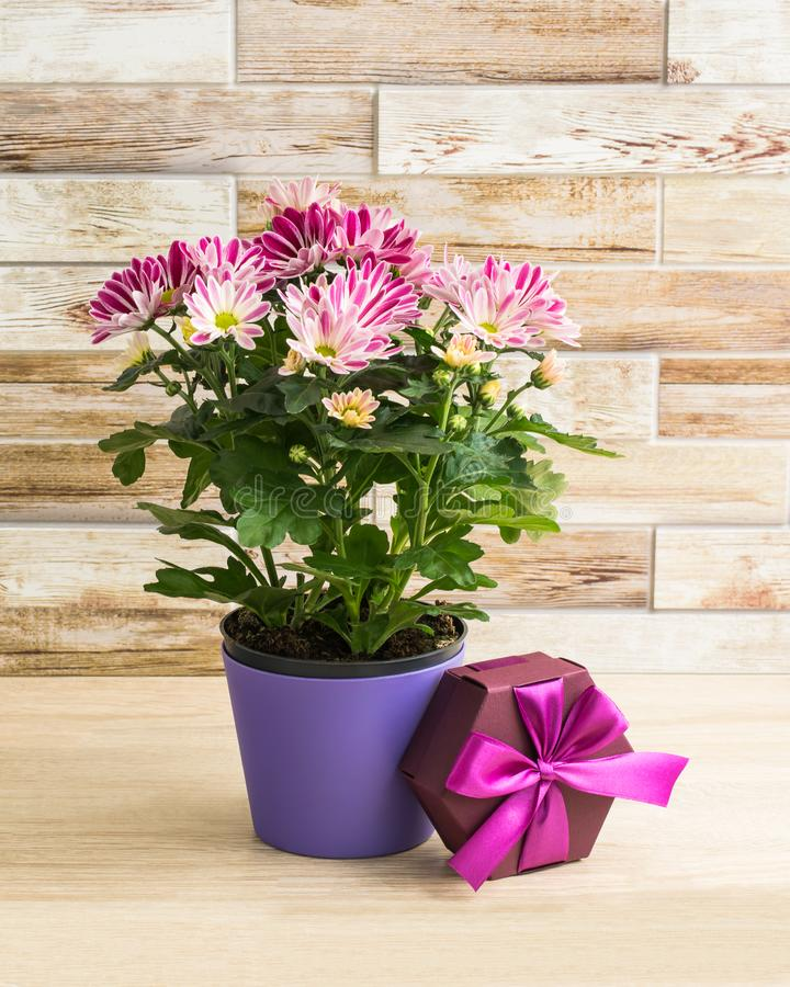 Purple chrysanthemum in a flowerpot with gift box. Wooden background stock photos