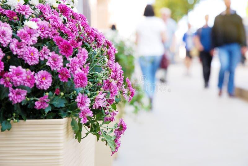 Purple chrysanthemum flowers on city street, defocussed silhouettes of people walking royalty free stock images