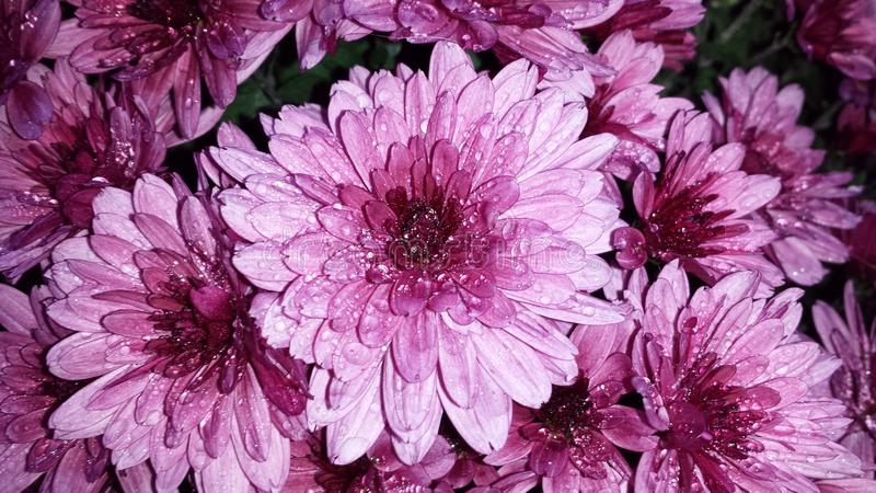 Purple chrysanthemum flowers. Close up. Water drops on flower petals stock images