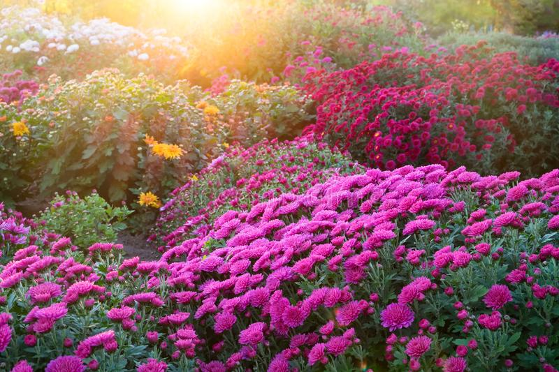 Purple chrysanthemum flowers at sunny day. royalty free stock image