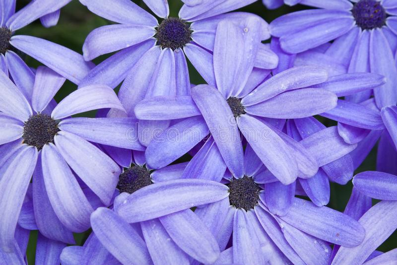 Cineraria flowers. Purple Cineraria flowers close up royalty free stock image