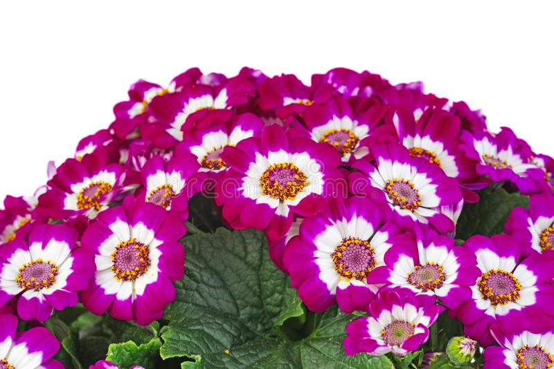 Purple cineraria. Isolated on white background stock images