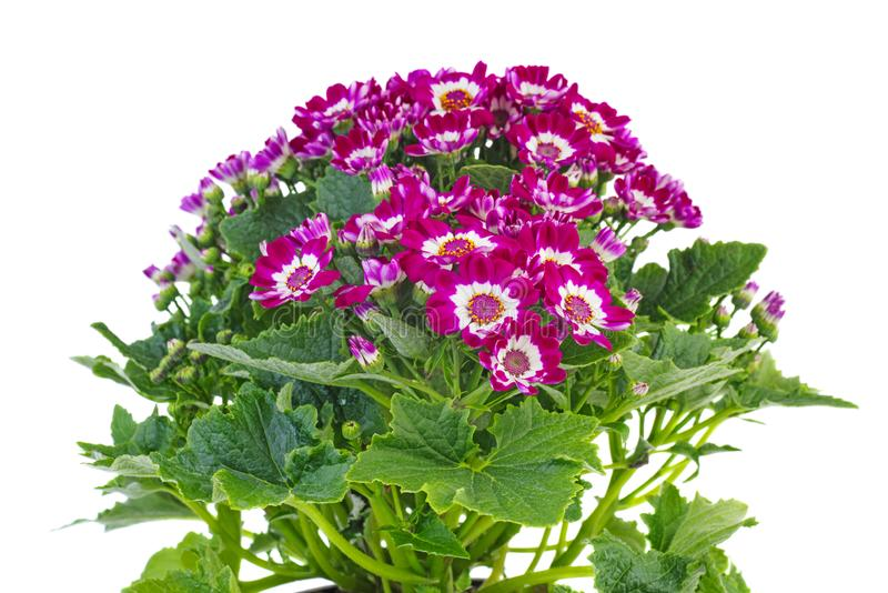 Purple cineraria. Isolated on white background stock photography