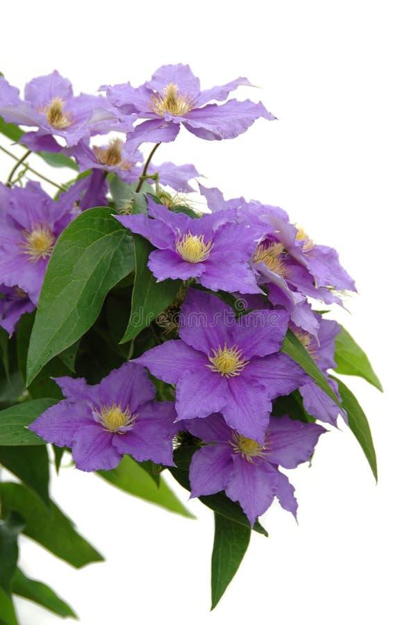 Purple Clematis Stock Photos