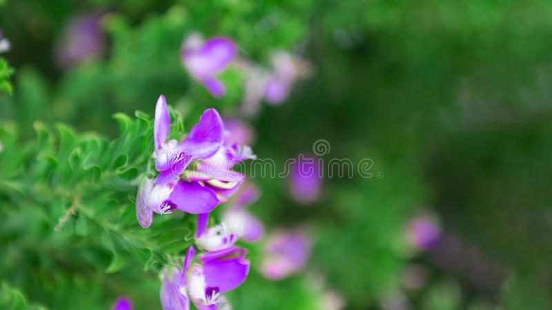Purple closeup flower on the street plant tree in the Cyprus street. Closeup on the background of defocused green leaves. Selective focus. Horizontal royalty free stock photography