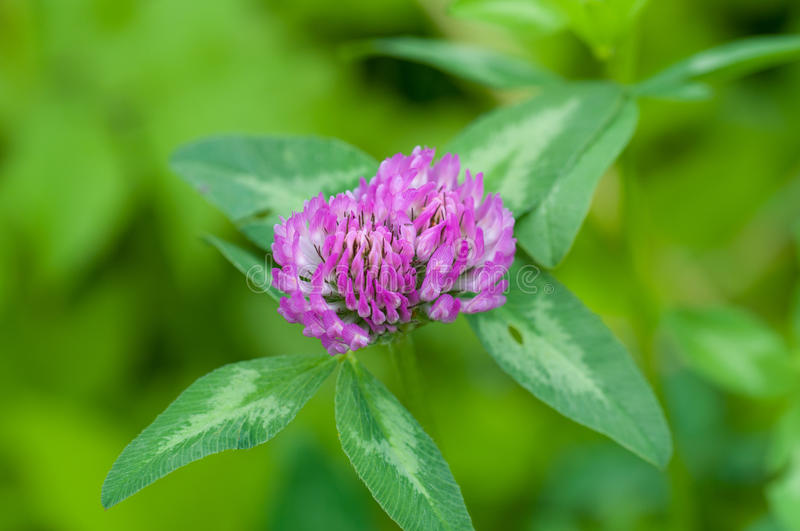 Download Purple clover stock image. Image of fresh, background - 32047649