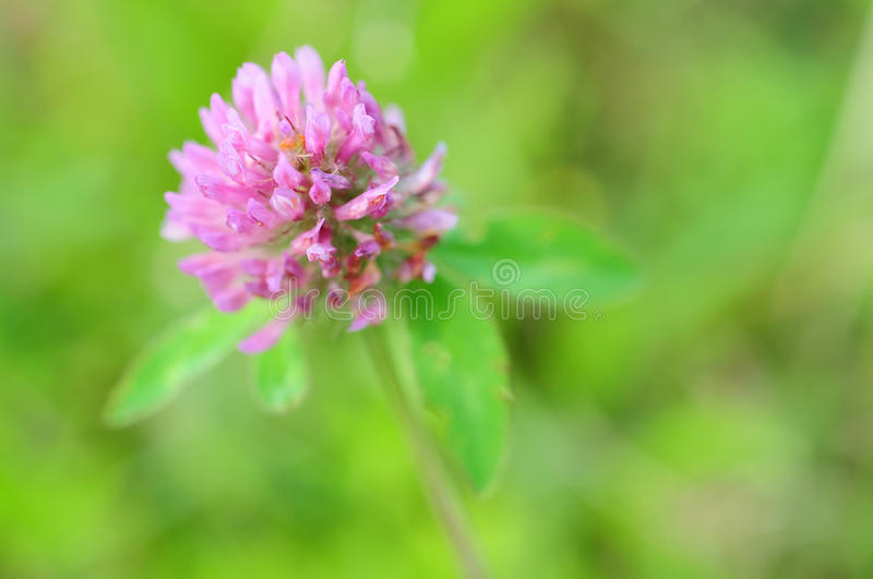 Purple clover flower royalty free stock image