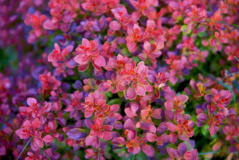 Purple color bush stock images