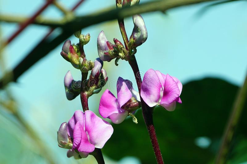 The Purple color Hyacinth Bean flowers with green leaves. stock photo