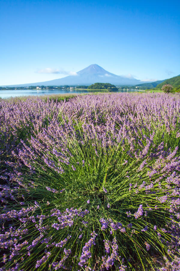 The purple color of lavender and Mountain Fuj royalty free stock images