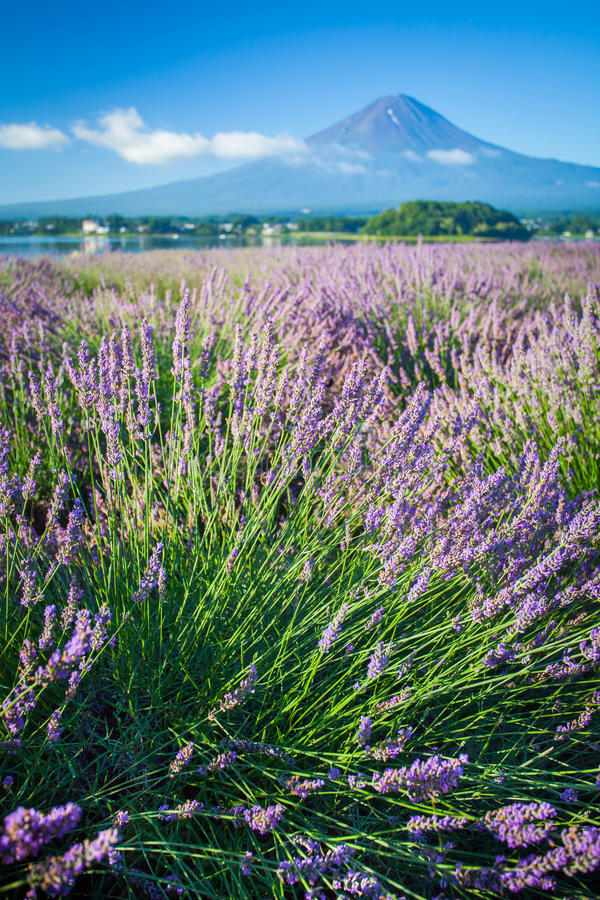 The purple color of lavender and Mountain Fuji stock images