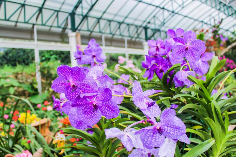The purple color orchids beautiful flowers inside garden botanical it is symbol of Thailand stock photo