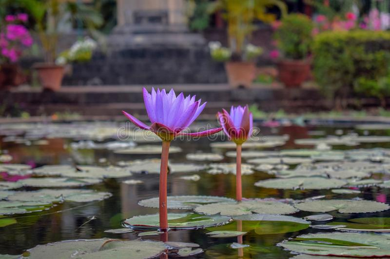 Purple colored attractive lotus in the lake surrounded by the leaves stock images