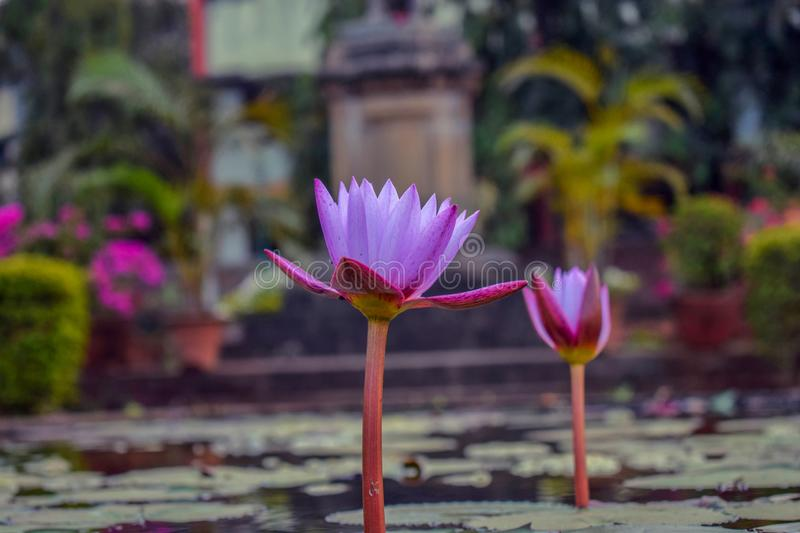 Purple colored attractive lotus in the lake surrounded by the leaves stock photography