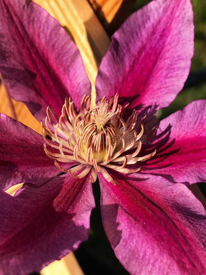 Beautiful Purple Colored Clematis Vine Flower. A purple colored clematis vine flower in full bloom. Strong morning light creates a shadow near the center of the stock image