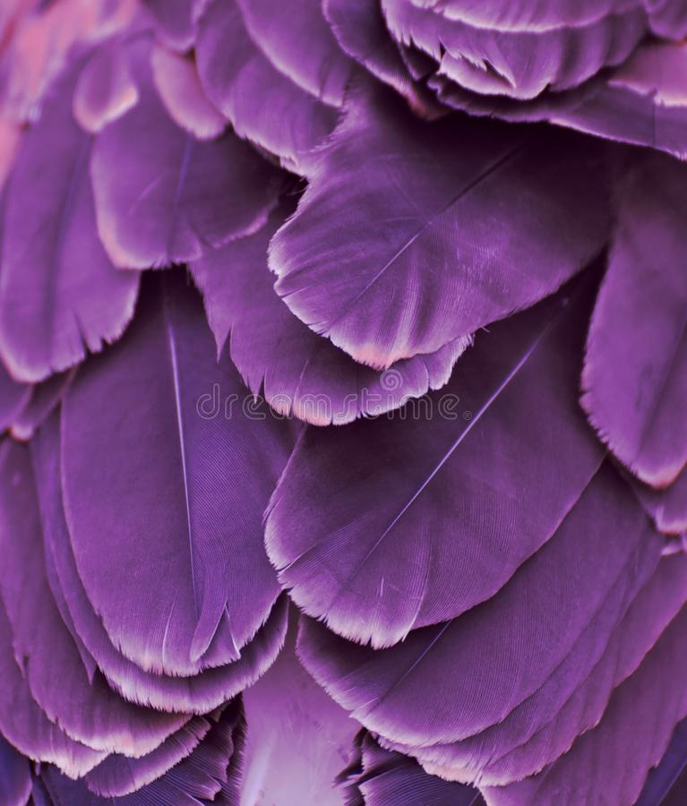 Purple Colored Feathers royalty free stock image