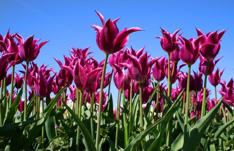 Purple Colored Tulips stock photos